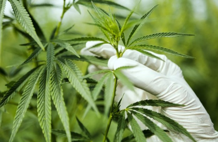 Cannabis mj mstocks